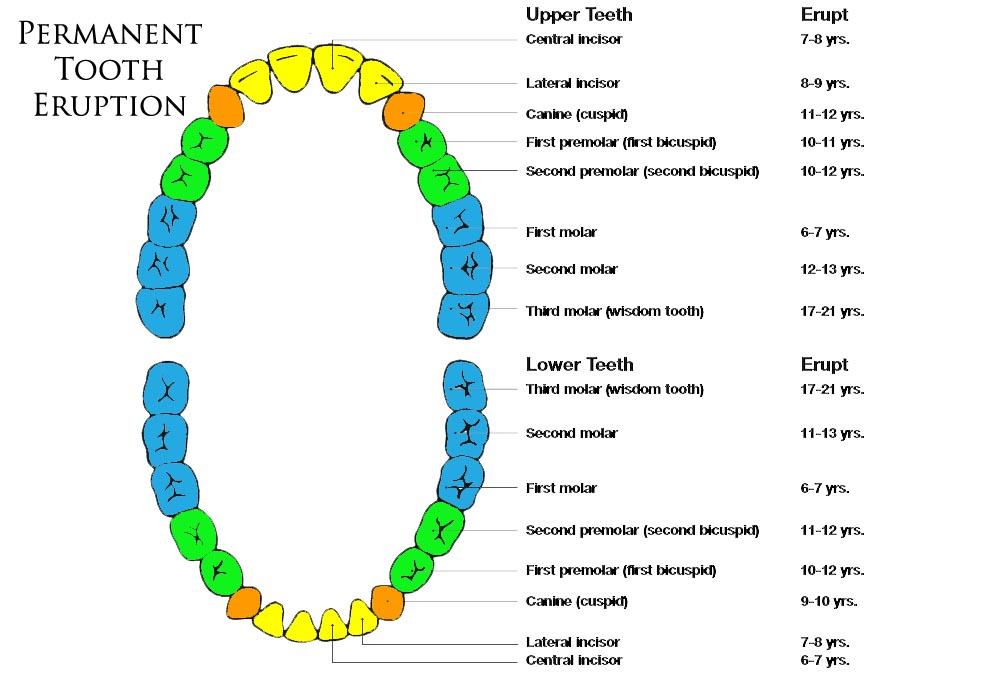 Какие зубы лезут у ребенка 2 лет
